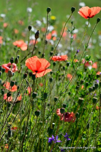 Fleurs fin juin à Méailles-PhotosLP Fallot.JPG