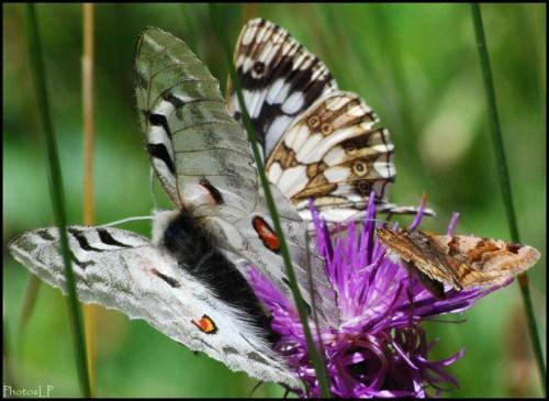 Papillon3-PhotosLP Fallot.jpg