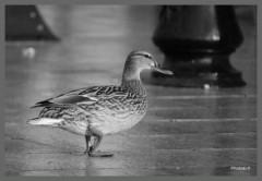 Le canard en ville-PhtosLP-avril 2009.jpg
