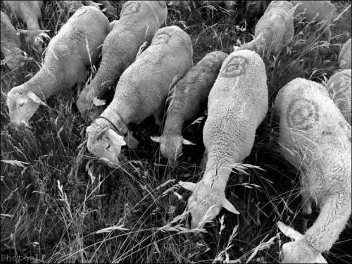 Moutons dans le village-PhotosLP Fallot (5).jpg