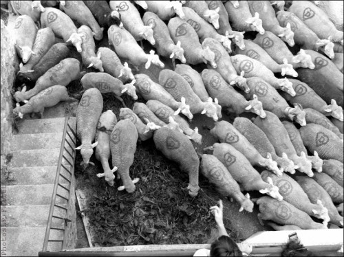 Moutons dans le village-PhotosLP Fallot (2).jpg